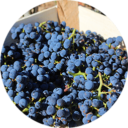 Syrah bio roussillon vin