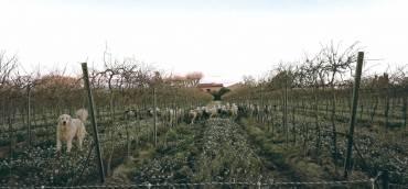 Le retour des moutons dans le vignoble Cazes