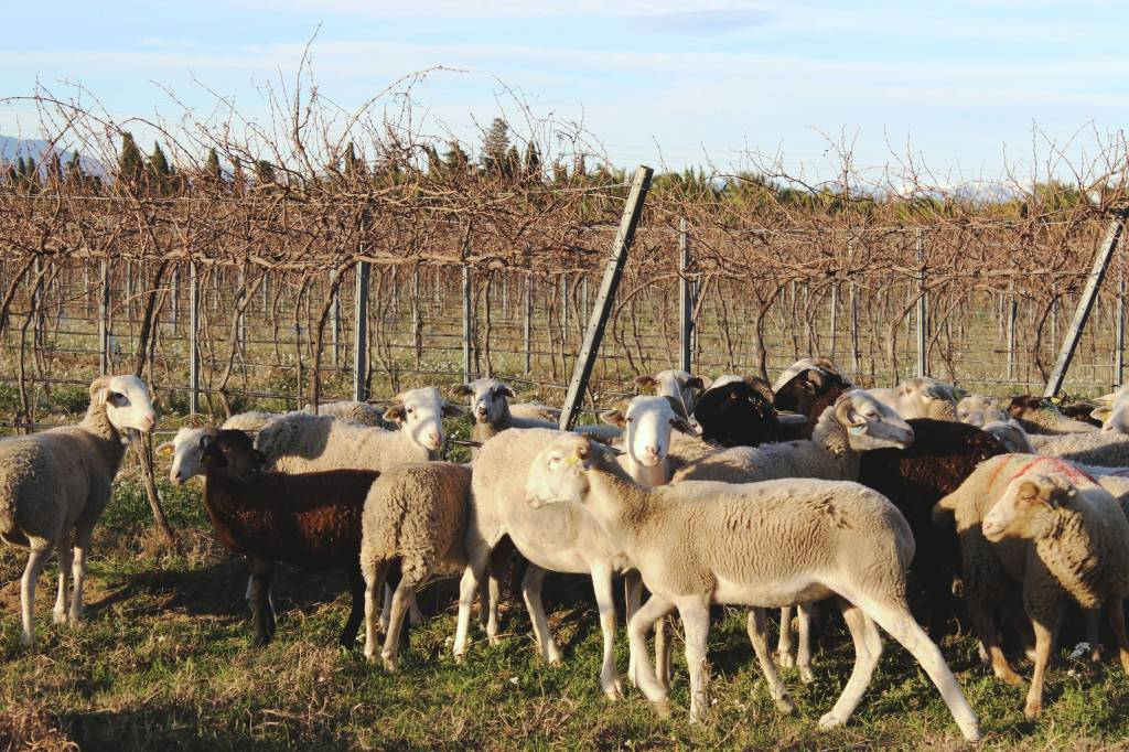 pastoralisme domaine cazes mouton biodynamie